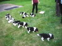 子犬もふもふ(*´д`*)生後5週間のもふもふ10匹に餌やりするとカワイイw