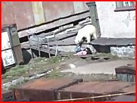 これは怖すぎる。ロシアで女性が北極熊に襲われている動画がアップされる