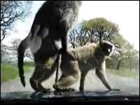 目の前でお猿さんがセックスを始めてギャルたち大興奮wwギャハハハハww