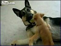 かなりの勢いで大きな犬に挑むワンコ それを相手する微笑ましい映像