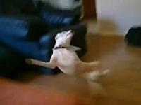 ソファーに飛び乗ろうとしたワンコが凄い恰好でズッコケる動画ワロタwww