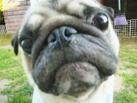 カメラに向かってキメ顔!ばっちり顔を作るパグさん可愛すぎワロタ動画。
