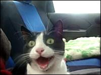 眉毛なげえ・・・。初めて乗る車にビビッてるのか口が開きっぱなしのネコさん