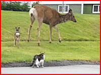 ワンコぼっこぼこ(@_@;)鹿のお母さん怖すぎワロエナイ。 猫vs鹿vs犬