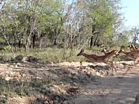 ヒョウの性能高すぎ凄い。インパラの群れ(ごはん)が向こうからやってきた。