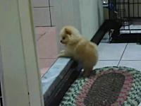 住宅のバリアフリー化を切望しているであろう子犬が可愛すぎワロタ動画。