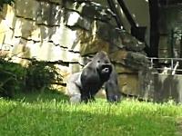動物園のゴリラが地面を掘り返して何をするのかと思ったら