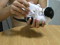 コネコパラペコ。哺乳瓶のミルクに必死な子猫が可愛いビデオ。ほのぼの。