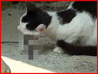 母猫が自分の子供を食べているショッキングなビデオ。これは猫の習性か?