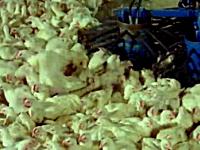 食肉ベルトコンベアー。流れ作業のラインにのせられるウシ、ブタ、ニワトリ。