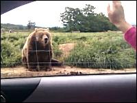 挨拶するとフレンドリーに手を振ってくれるクマ(本物)どんだけ慣れてんのw