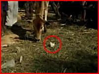 カワイイひよこをムシャムシャ食べちゃう牛の衝撃映像