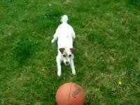 オットセイ犬?鼻先が器用なワンちゃんのボール遊び。これはなかなか凄い。