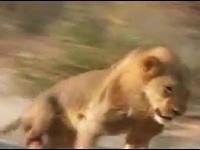 至近距離からの最後の一発でなんとかライオンを仕留めるハンター