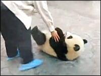 赤ちゃんパンダの本気!飼育員の隙をついてダッシュで脱獄する子パンダ
