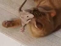 これは珍しいネコネコ動画。ニャンコにべったりなネズミさんの映像