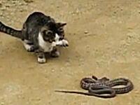 高速ヌコパンチ炸裂 野良猫vs野良ヘビの対決動画が話題に。