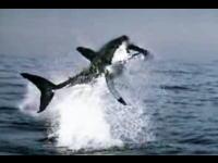 海中から豪快にアザラシを狩るホホジロザメのダイナミックなムービー