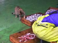 忍び寄るニャンコ×5匹。漁師さんの魚を狙いに来た野良ネコたちの奮闘記。