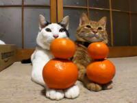ネコたちにみかんを与えてみた。 ネコ「仕方がない主に付きやってやるか」