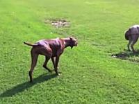 悲しすぎるイヌ「忍び足」の見本のような慎重さで近づくも・・・。まさかの・・・。