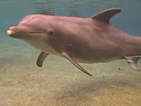 感動のビデオ。イルカの出産。母親と子イルカの絆を感じれる良いビデオ。