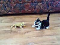 この子猫のビビり方がハンパないwwwwwしかも2回もwwwトカゲvsコネコ