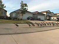 これは何ごとぞ?w たくさんの鳥類が町内マラソンw シュールな絵だなw