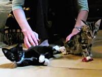 珍しい遺伝子異常で少しでも驚くと筋肉が硬直して倒れてしまう子猫たち。