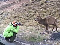 道路を走ってたら野生の鹿に遭遇。近くから撮ろうと接近したカメラマンが襲われる