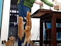 ゴハンの時間になると子猫たちが必死すぎる最強萌え動画がキテシマッタ。