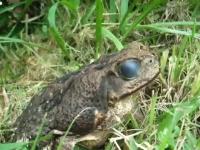これは気持ち悪い(@_@;)カエルの目の中でウネウネと動く寄生虫。再生注意