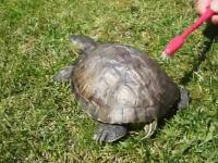この亀ワロタwww気持良いのかくすぐったいのか。甲羅磨きに腰をフリフリフリ