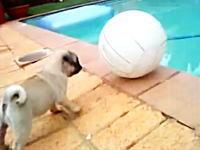 プールサイドで大きなボールで遊ぶワンコにふりかかる予想外のハプニングw