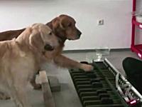 このワンコ可愛すぎワロタwwwお姉さんと一緒にピアノを演奏するイヌ2匹。