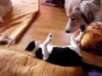 いつか事故が起こりそうで怖い大きい犬とニャンコのじゃれ合い