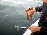 ボートに擬態するタコ。釣り上げられたタコが必死に変色してカモフラージュ。