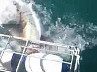 シャークウォッチングでホホジロザメがケージ内に顔を突っ込んで大恐怖。