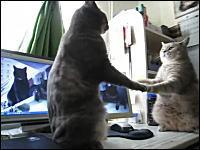 これは萌えたネコネコ動画。これはニャンコ通信?手話?シンクロするネコ