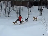 野良犬の集団に襲われている女性を助けたヒーロー。ノラ犬多すぎやろ・・・。