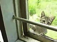 すげえwwwアクロバティックな技で窓から部屋に入ってくるニャンコの映像。