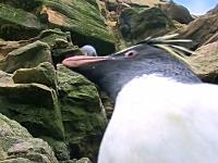 ペンギンにはドジで間抜けなヤツが多い。そんな失敗映像まとめ動画。