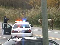 逃げ出した子牛に警察官が12発もの弾丸を打ち込む動画に批判が殺到。