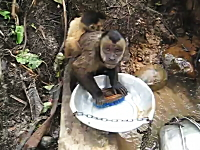 皿洗いをマスターしたお猿さん。器用にたわしを使ってお皿をゴシゴシする。