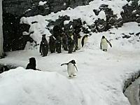 ちょっと落ち着けww動物園に一匹だけハイテンションなペンギンがいたww