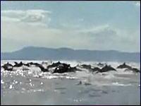 こんなの見た事ある!?イルカの超大群を捉えた珍しいムービー
