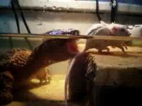 エサ用の生きたマウスを食べちゃうカメさんのムービー
