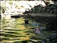 子ヤギが溺れている!それを見た豚さんが飛び込み救助する。ブタブタ動画