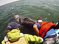 感動的なクジラとの遭遇。クジラの親子が人間のボートに接触を求めてきた。
