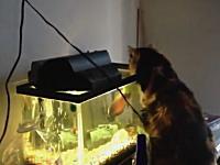 水槽の中の熱帯魚に攻撃されて焦るニャンコwwwオスカー強かったwww